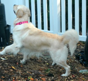 Heidi searching for squirrels in the backyard.