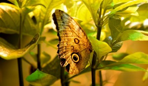 A butterfly blends somewhat with its background in a controlled habitat at Natural Bridge.