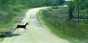 A long deer crosses the YO Ranch main gate entrance road.