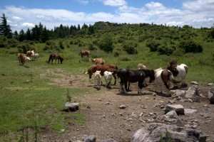 This small group Grayson Highland horses  intercepted park visitors, many who were on their way to the top of Mount Rogers.