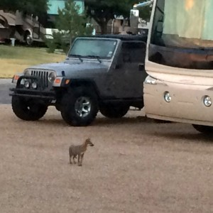 A coyote pup makes a brief unexpected appearance in an Amarillo Campground.
