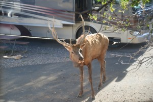 Elk roamed the Trailer Village campground like stray dogs. They were present every day and probably numbers in the dozens. At one time, there were seven elk lounging in the shade of a tree alongside our RV.