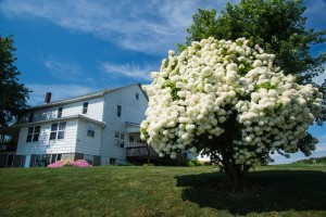 A snowball tree dominates the front yard of this Amish farm.
