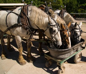 Three belgium draft horses take a deserving drink after hauling a trailer load of tourist around Mackinac Island.