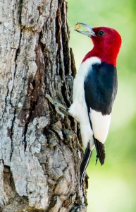 A red headed woodpecker photographed in a campground near Mena, AR.