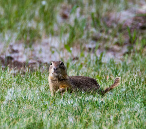 A Richardson ground squirrel was munching on grass at our campsite in Battleford. They resemble a prairie dog.