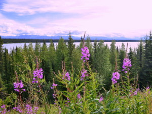 Fireweed is a brightly colored flower that blooms all over the northwest, usually in large clumps. This photo was taken with Cobbs Lakes in the background. The lakes are located on the road between Glennallen and Valdez.