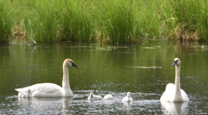 A pair of trumpeter swans were showing off their four youngsters in a small pond on the road between Tok and Glennallen, AK.
