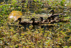 A family of ducks are blending in with their surroundings on a pond near Cooper Landing, Alaska.