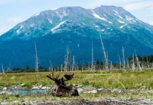 A bull moose enjoys the scenery at the Wildlife Conservation Center.