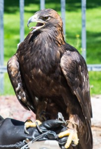 A bald eagle performs in the raptor center at Cody Museum.