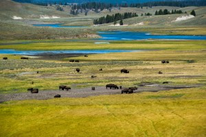 The nation's largest bison herd is in Yellowstone National Park. Last count estimated over 5,000 head.