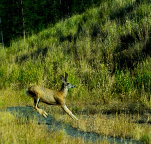 A deer passes in front of our car on the road near Buffalo Bill State Park.