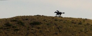 The pony express rider heading west in Montana is actually a metal sculpture but certainly appears authentic.