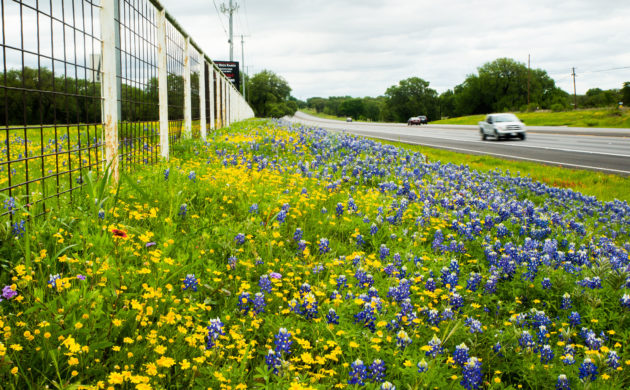 Wildflowers decorate the roadways in Texas