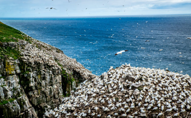 Cape St. Mary's huge bird colony is within a few feet of shore