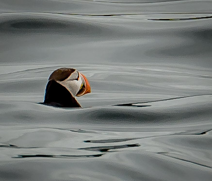 Whale watching trip included release of young puffins back to sea